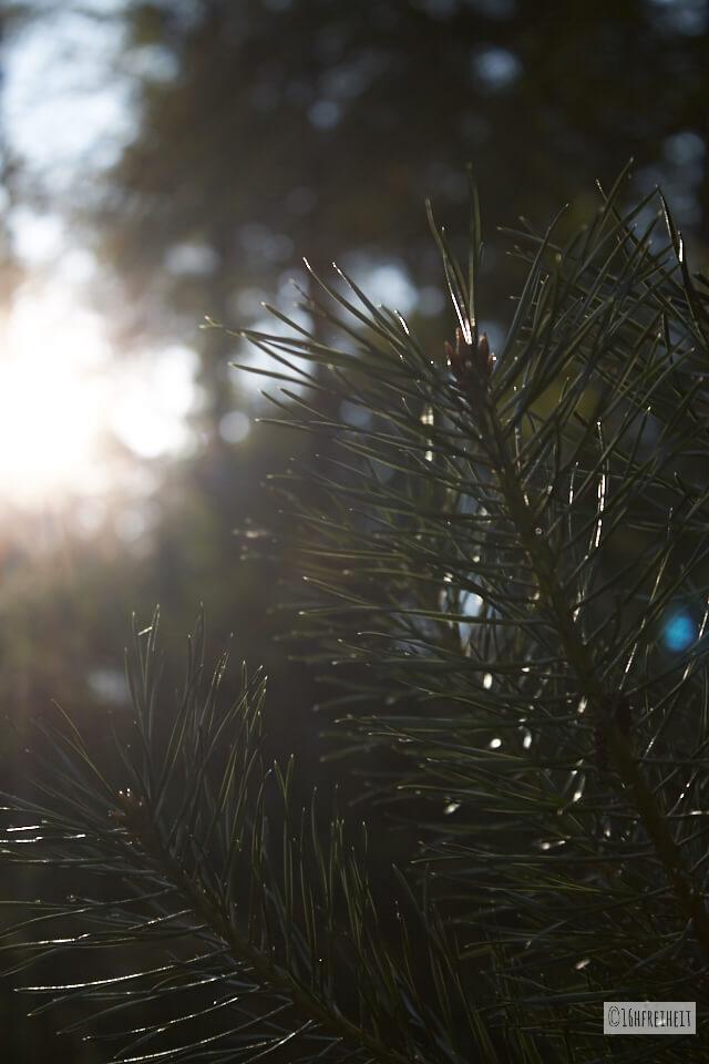 Nadelbaum im Gegenlicht