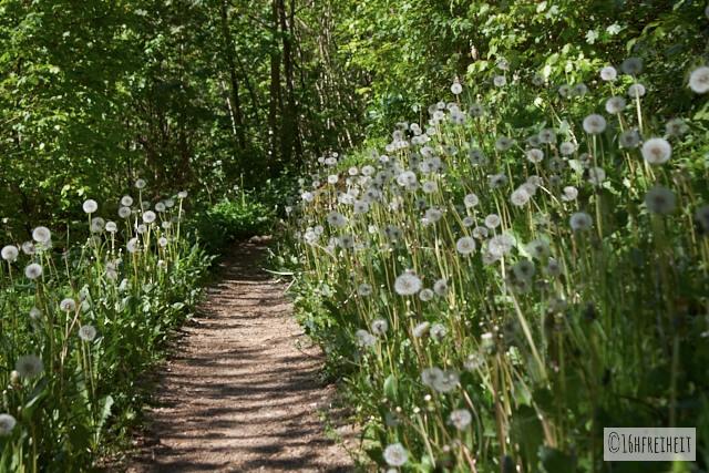Pusteblumen am Wegesrand auf dem Weg durchs Trubachtal